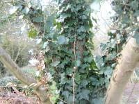 ivy up tree 2