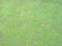 Dollar Spot - STRI pic mr.jpg