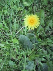 nick-Dandelion-Flower.jpg