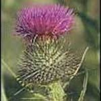 spearthistle-flower2.jpg