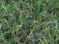 fusarium-on-football-pitch.jpg
