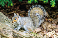 GreySquirrel3 RGBStock