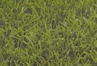 seashore-paspalum-grasses-c.jpg