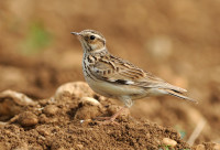 Woodlark WikiCommons