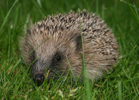 Hedgehog WikiCommons