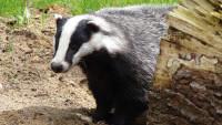 Badger5 Pixabay