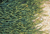 ascophyllum-nodosum 2.jpg