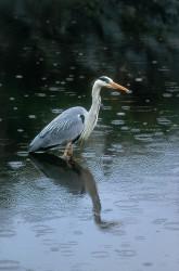 Garside heron
