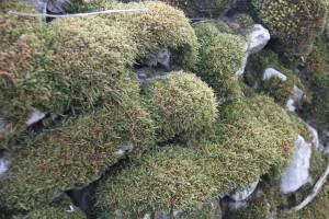 Moss IMG 0420