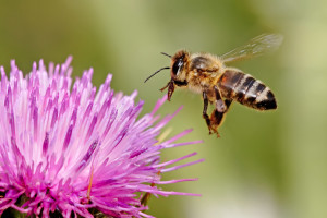 Honeybee landing on milkthistle02
