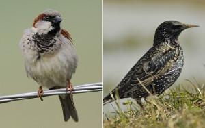 House sparrow star
