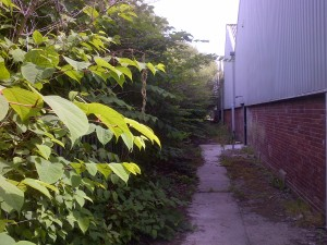 Be careful not to miss the window for treating Japanese Knotweed