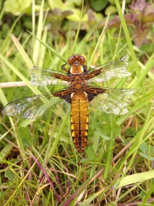 Chaser Dragonfly - Female
