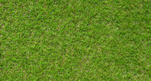 Lorne 100% fescue grass
