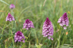 Temple GC Pyramid Orchid