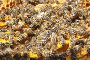 Bees Pixabay