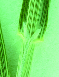 Common Bent Truncate ligule