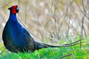 SCOTTISH PHEASANT