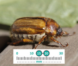 Welsh Chafer