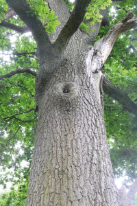 Large cavity in a mature oak tree – provides suitable habitat for roosting bats